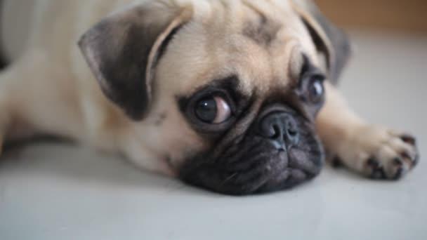 Detail tváře roztomilý Mops štěně pes spí odpočinku brady a jazyka trčí lehl si na podlahu