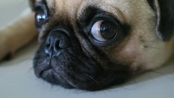 Close-up face of Cute pug puppy dog sleeping rest by chin and tongue sticking out lay down on tile floor