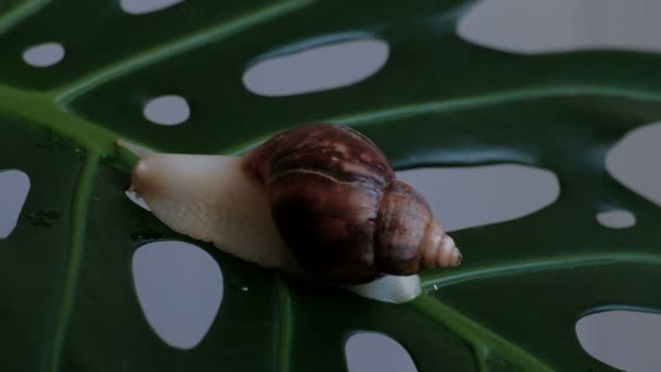 A large snail Achatina fulica slowly creeps over the plant on a green leaf with holes.