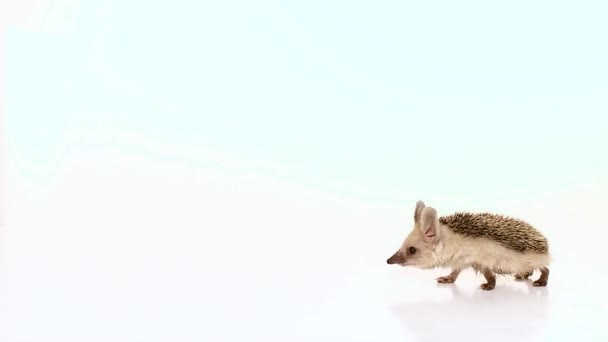 A little long-haired hedgehog goes on the screen from right to left. Isolated.