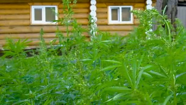 Pole se zeleným konopím na pozadí dřevěného domu se dvěma okny. Listí a květenství marihuany na křovinách bušuje vítr na dvoře farmy. Nezákonné pěstování konopí.