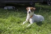 Jack Russell teriér pes pózuje v trávě, bílá hnědá srst, portrét domácích zvířat