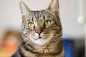 Hauskatzenporträt aus Marmor, Augenkontakt, niedliches Kitty-Gesicht