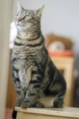 Fotografie Hauskatze Marmor versucht, größer, Blickkontakt, süße lustige Katze Gesicht, erstaunliche Kalk Augen