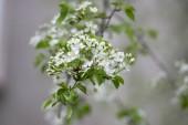 Mahaleb cherry strom kvetoucí, opadavý strom s skupinou malých bílých květů, pupeny a zelené listy na větvích