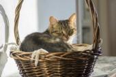 Fotografie Aus Marmor Hauskatze entspannend im Weidenkorb, Sonnenlicht, Blickkontakt