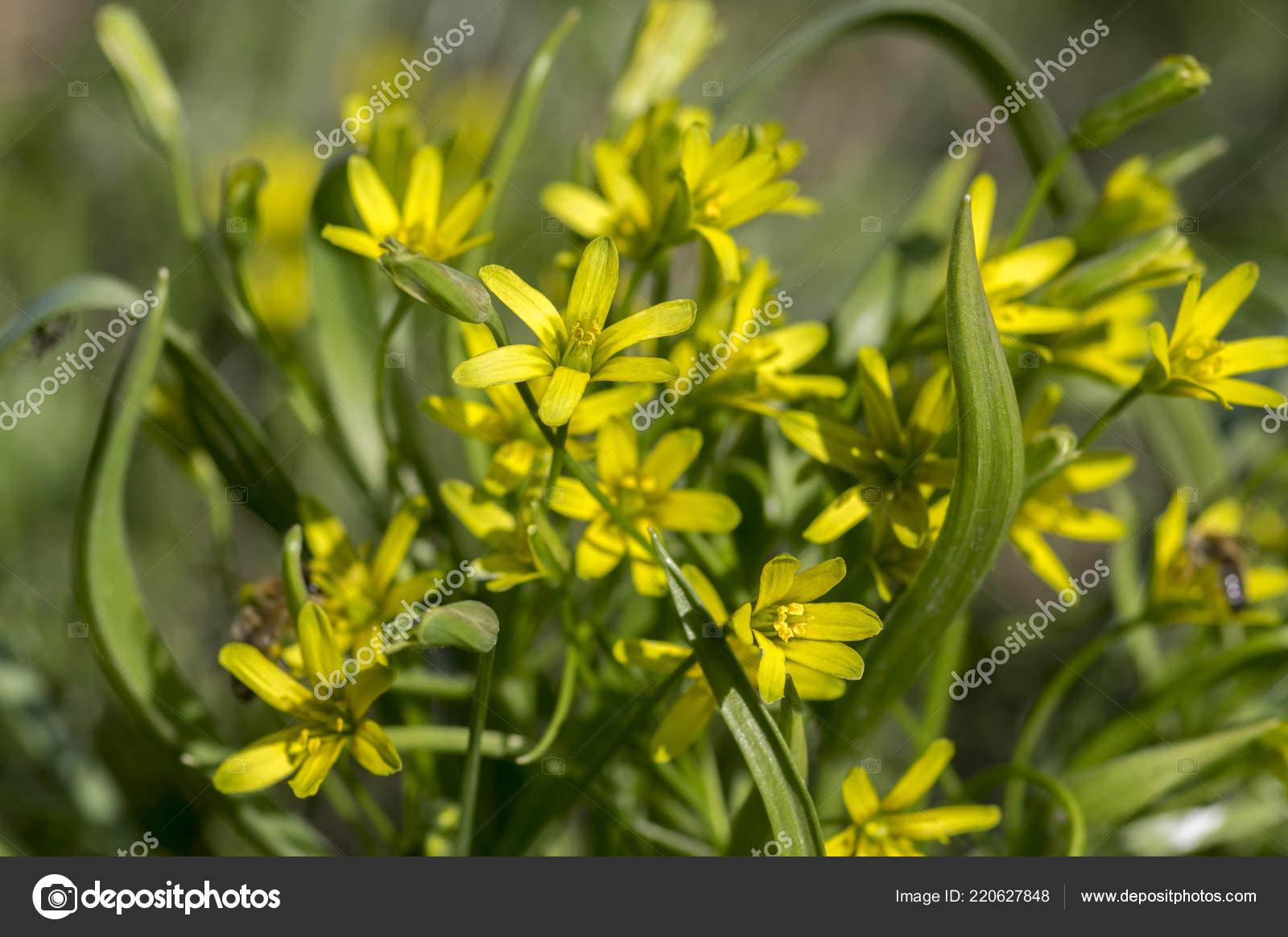 Gagea Lutea Wilde Pflanze Bluht Walder Fruhjahr Bodendecker