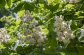 Aesculus hippocastanum pobočky v bloom