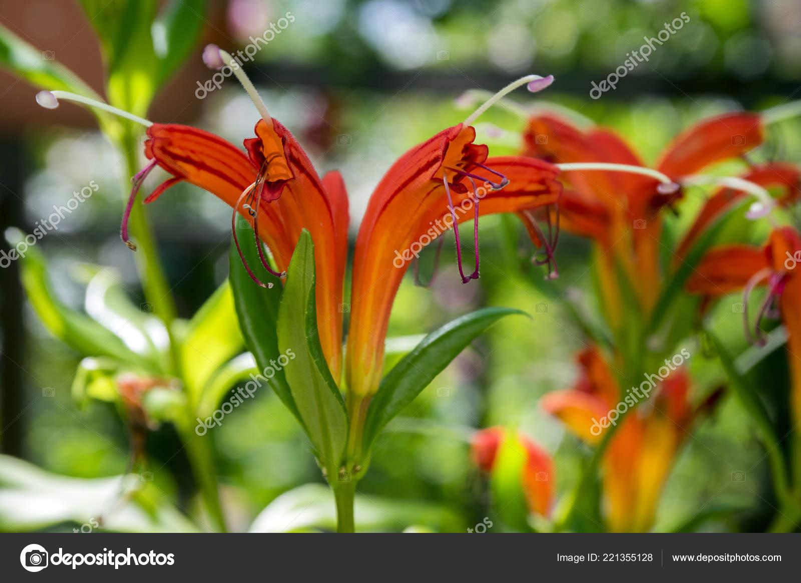 Aeschynanthus Speciosus Bloom Pretty Orange Red Flowers Ornamental