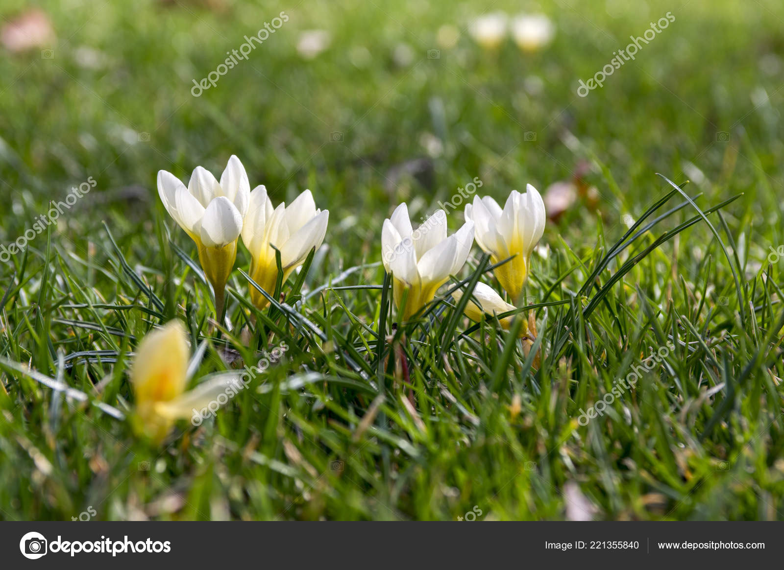 Crocus Vernus Starting Bloom Yellow White Flowers Lawn Stock Photo