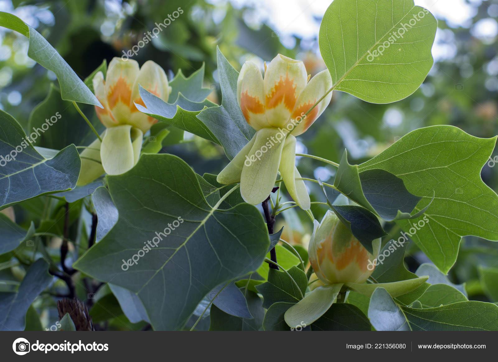 Liriodendron Tulipifera Beautiful Ornamental Tree Bloom Branches