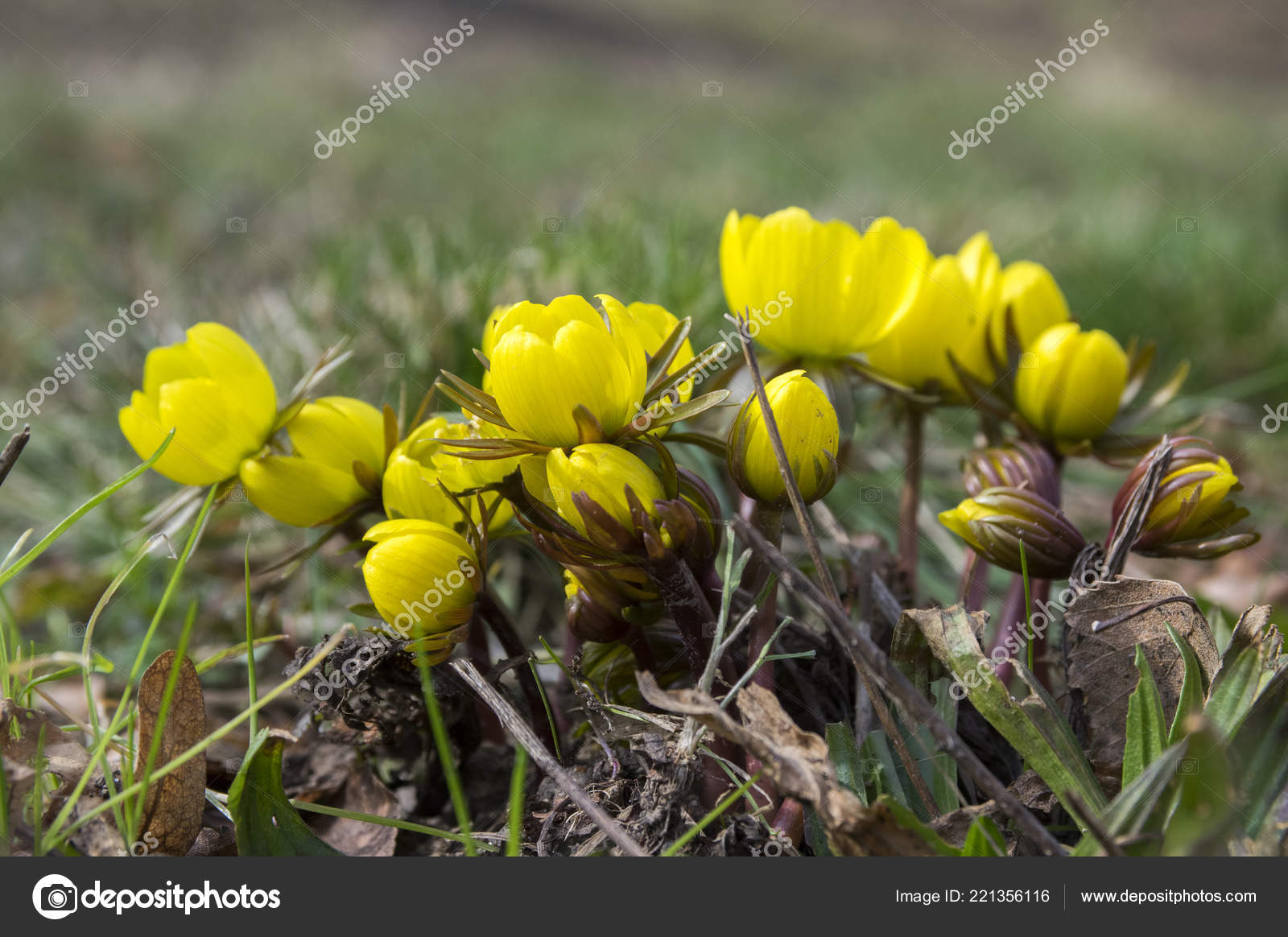 Detail Eranthis Hyemalis Early Spring Flowers Bloom Winter Aconite