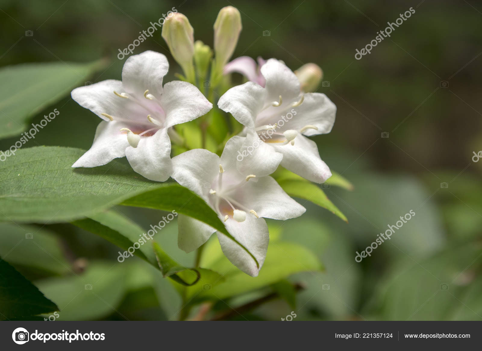 Weigelia Fiori Bianchi.Weigela Shrub White Pale Pink Flowers Branches Stock Photo