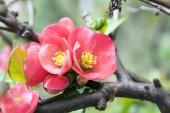 Chaenomeles deciduous shrub in pink bloom