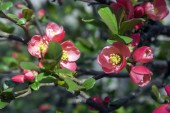 Chaenomeles deciduous shrub in pink bloom