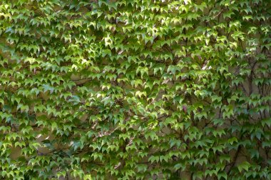 Early autumn background with Victoria creeper five-leaved ivy leaves creeping on white wall in sunlight, green colors