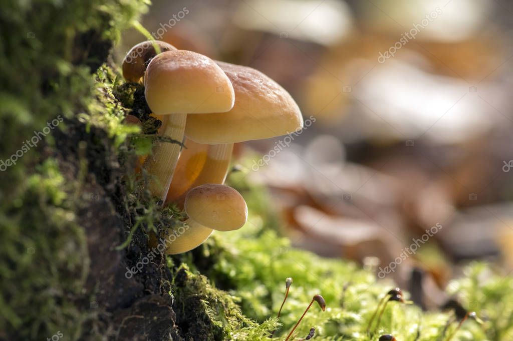 Flammulina velutipes mushroom on wooden shrub in green moss