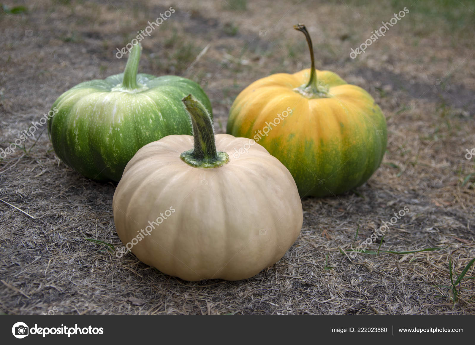 Long Island Cheese Pumpkin Stock Photos Royalty Free Long Island Cheese Pumpkin Images Depositphotos