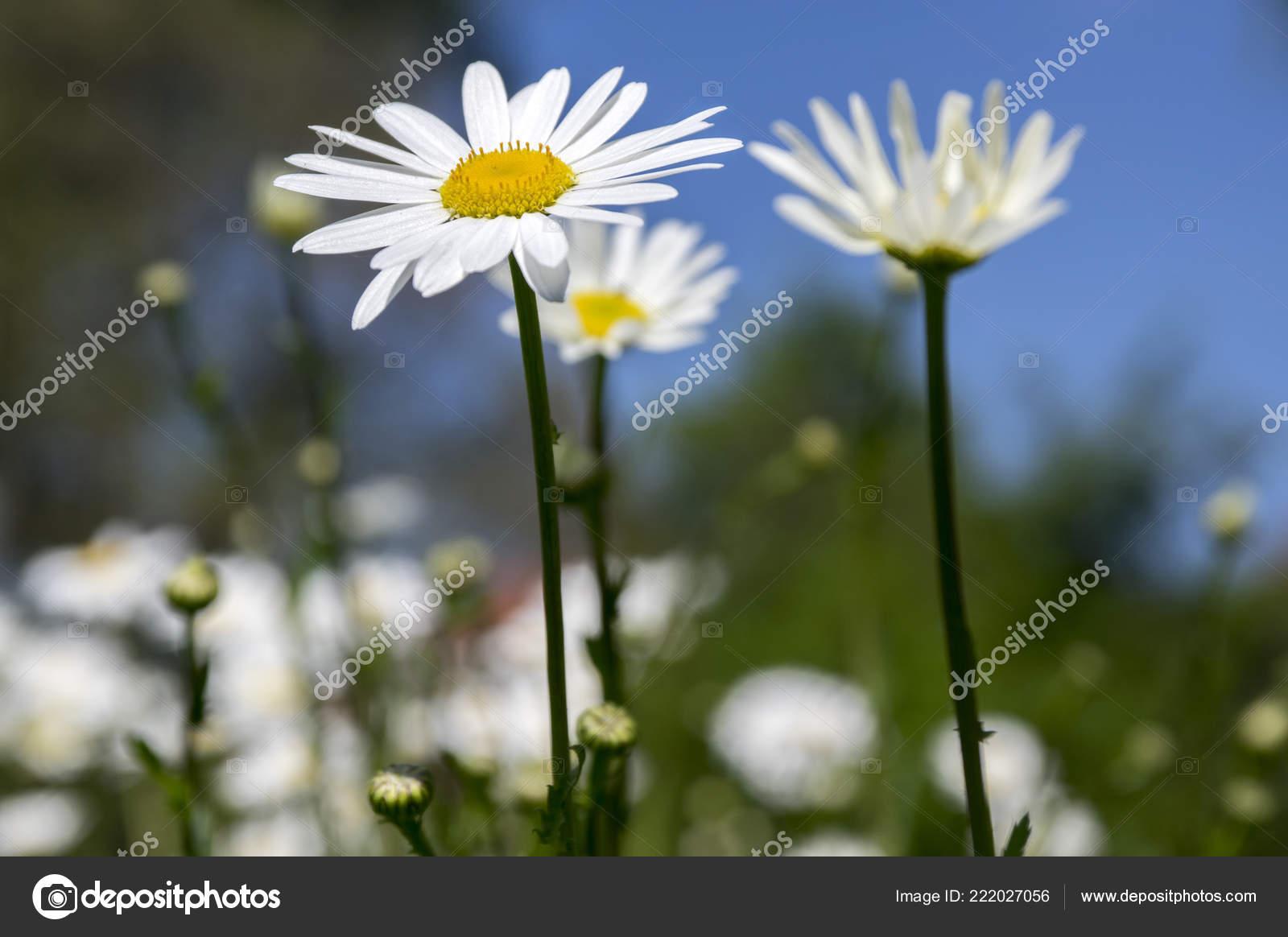 Leucanthemum Vulgare Meadows Wild Flower White Petals Yellow Center