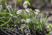 Galanthus nivalis, common snowdrop in bloom, early spring bulbous flowers in the garden, white flowering flowers