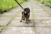 Fotografie Katze an der Leine Gassi auf dem Bürgersteig wollen nicht nach Hause gehen