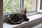 Fotografie Hauskatze Tiger liegend auf Fensterbank, Blickkontakt