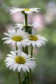 Fotografie Kopretina vulgare louky divoká květina s bílými květy a žluté centrum v květu