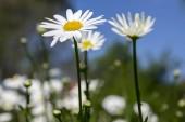 Kopretina vulgare louky divoká květina s bílými květy a žluté centrum v květu
