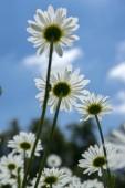 Fényképek Leucanthemum vulgare rétek vad Virág Szirmok fehér és sárga center-virágzás-kék ég ellen
