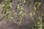 Mahaleb cherry strom kvetoucí, opadavý strom s skupinou malých bílých květů, pupeny a zelené listy na větvích v ranní slunce