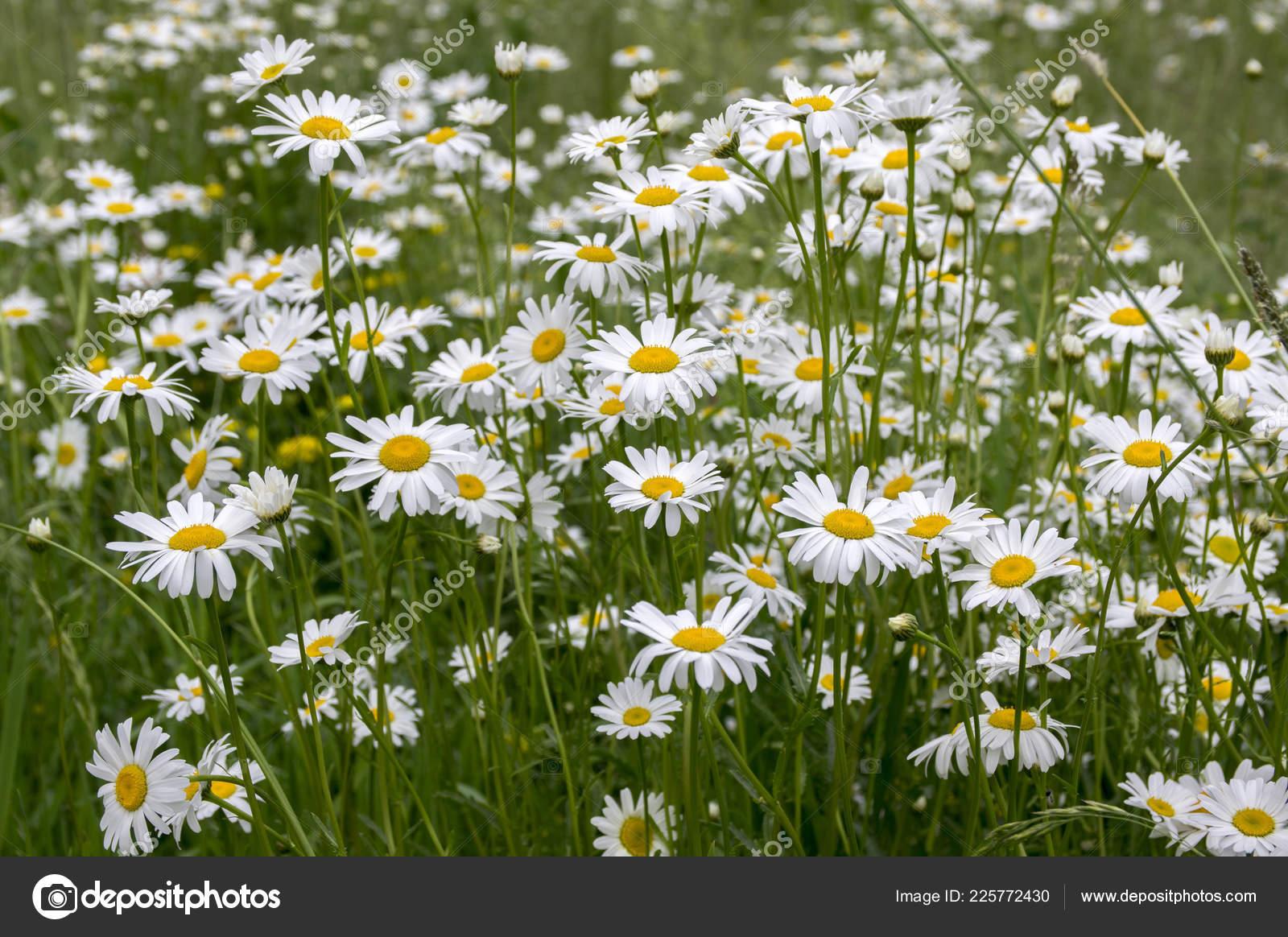 Leucanthemum Vulgare Meadows Wild Flowers White Petals Yellow Center