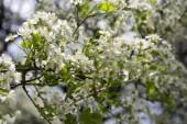 Saint Lucie třešně Prunus mahaleb strom v květu