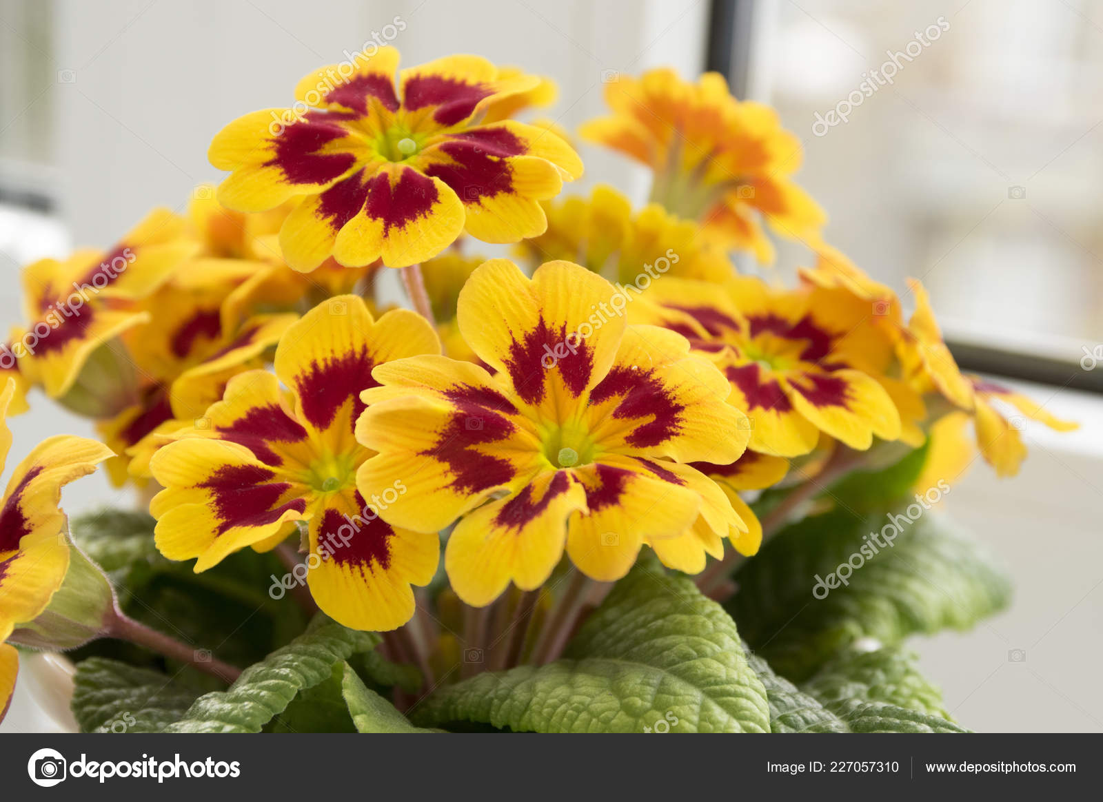 Yellow Red Primula Hortensis Primoses Early Spring Flowers