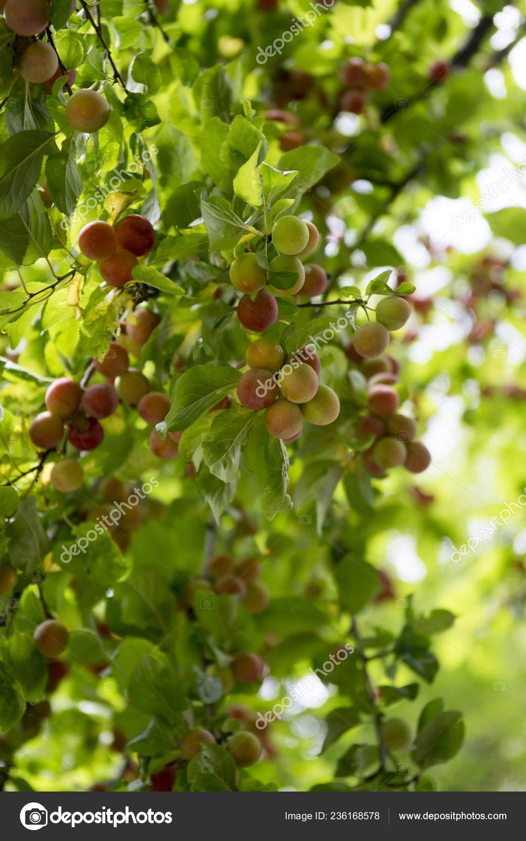 Prunus Cerasifera Cherry Plum Tree Myrobalan Plum Branches Full