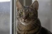 Haus Marmor Katze Porträt, Blickkontakt, niedliche Kätzchen Gesicht, neugierig