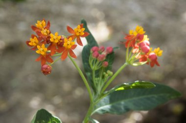 Asclepias curassavica tropical beautiful flowers in bloom, red orange yellow flowering plant