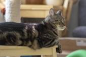 Hauskatze aus Marmor sitzt auf Holzhocker, niedliches Kitty-Gesicht, erstaunliche Kalk-Augen