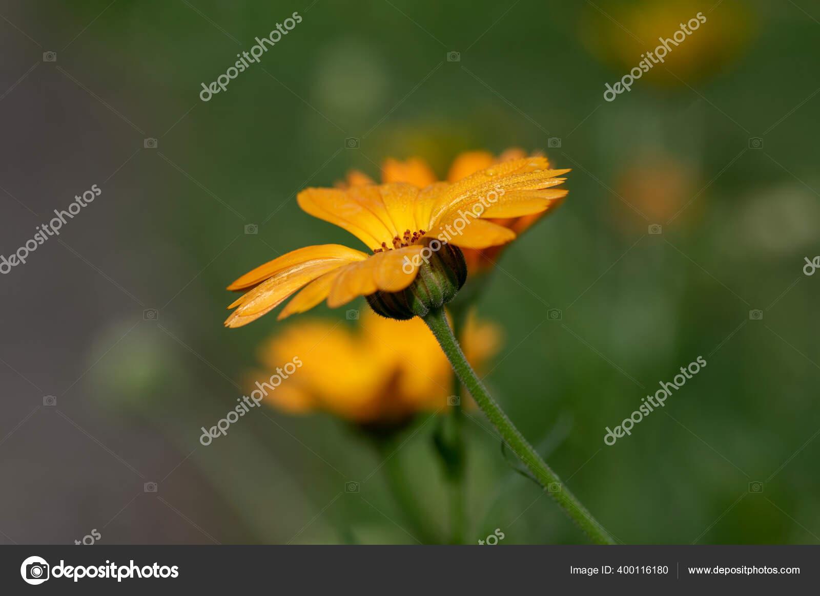 Calendula Officinalis Bunga Oranye Cerah Mekar Indah Tanaman Berbunga Medis Stok Foto C Ivusakzkrabice 400116180