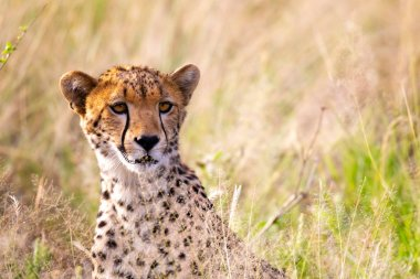 "Картина, постер, плакат, фотообои ""Портрет гепарда в травяном ландшафте"", артикул 263522172"