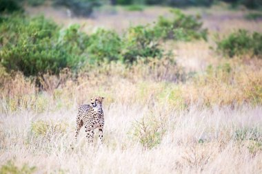 A cheetah walks in the high grass of the savannah looking for so