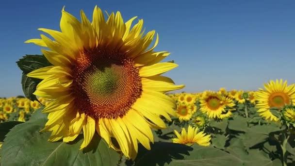 Včela letí blízko krásné slunečnice na velké pole slunečnic
