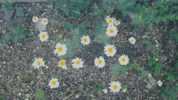 Chamomile flowers close up. Nature of summer, flower fields, wild flower meadow, botany and biology, video for the background, videofootage nature, beautiful daisies.