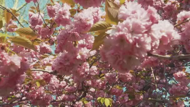 Růžový sakura květ, Třešňový květ, himálajský třešňový květ houpající se ve větru detailně