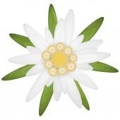 vereinzelte Edelweißblume, Symbol für Oktoberfest und Alpen