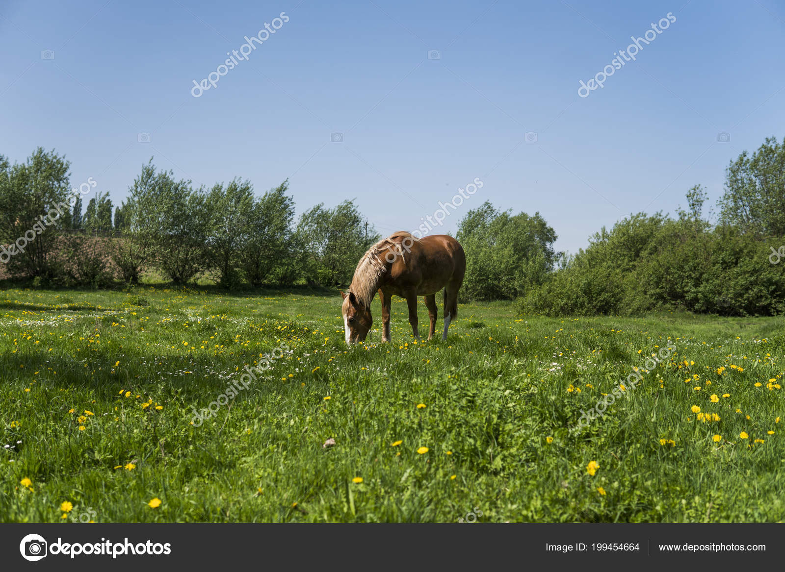 Alone Brown Horse On A Chain Grazing On Green Pasture With A Yellow