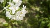 Zblízka pohled na bílé Kvetoucí třešeň větev. Bílé květy Třešňové květy na jarní den v zahradě.