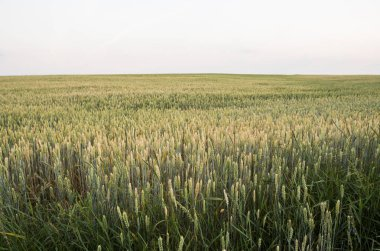 Young green wheat on a beautiful field in a sunset. Ripening ears wheat. Agriculture. Natural product.