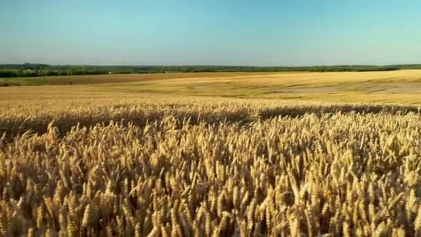 Búzamező. Aranyfülek a búza a pályán. Háttere érési fül rét búza mező. Gazdag termés. A természetes termék mezőgazdasága.