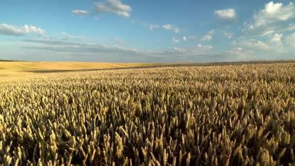 Wheat field. Golden ears of wheat on the field. Background of ripening ears of meadow wheat field. Rich harvest. Agriculture of natural product.