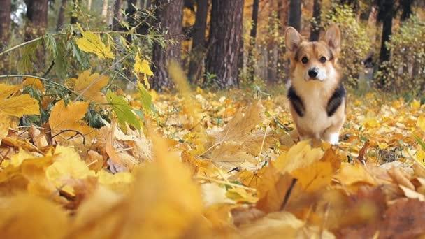 Hunderasse walisischer Corgi pembroke auf einem Spaziergang in einem schönen herbstlichen Wald.